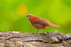 Birdwatching w Ameryka Środkowa Przyrody scena od natury, Belize Throated Tanager, Habia fuscicauda, czerwony ptak w n Zdjęcia Stock