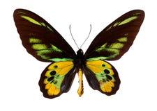 birdwing的绿色swallowtail 库存图片