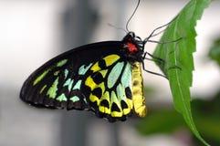 birdwing的蝴蝶石标 图库摄影