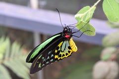 birdwing的蝴蝶石标 免版税库存照片