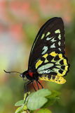 birdwing зеленый цвет бабочки Стоковая Фотография