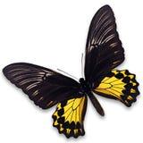 birdwing общее бабочки Стоковые Фото