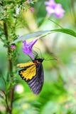 birdwing общее бабочки Стоковые Фотографии RF