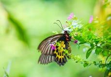 birdwing общее бабочки Стоковое Изображение RF