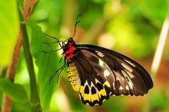 birdwing пирамиды из камней бабочки женские Стоковая Фотография