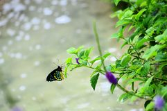 birdwing пирамиды из камней бабочки мыжские Стоковое Фото