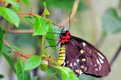 birdwing пирамиды из камней бабочки женские Стоковые Фотографии RF