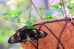 birdwing пирамиды из камней бабочки женские Стоковые Изображения RF