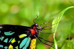 birdwing пирамиды из камней бабочки мыжские Стоковая Фотография