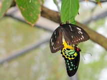 birdwing сопрягать пирамид из камней бабочек Стоковые Фото