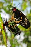birdwing сопрягать пирамид из камней бабочек Стоковые Изображения RF