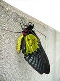 birdwing стена бабочки конкретная troidian Стоковое Фото