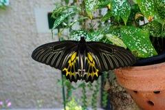 金黄Birdwing 库存图片