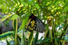 金黄Birdwing 免版税图库摄影