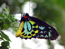 Birdwing Butterfly Royalty Free Stock Photo