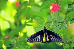 Birdwing butterfly in aviary, Florida Stock Image