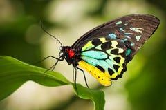 Birdwing butterfly Stock Photo