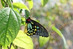 Birdwing Butterfly Stock Image