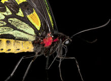 Birdwing Butterfly (Extreme close-up) Stock Photography