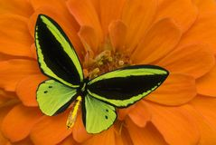 Birdwing Butterfly on a flower Royalty Free Stock Photography