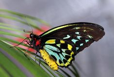 Birdwing Butterfly on a leaf royalty free stock photography