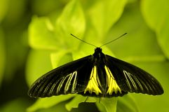 Birdwing butterfly (Troides helena)  Royalty Free Stock Image