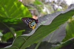 Birdwing Butterlfy op een blad Royalty-vrije Stock Fotografie