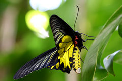 Birdwing d'or No.2 Photo libre de droits