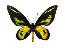 Birdwing de Rothschild de papillon photo libre de droits