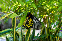 Birdwing dorato Fotografia Stock Libera da Diritti