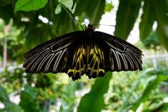 Birdwing dorato Immagini Stock Libere da Diritti