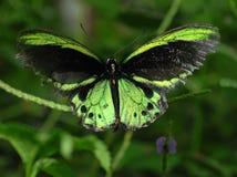 birdwing fjäril richmond arkivbild