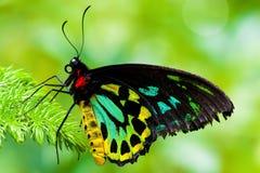 birdwing fjärilsrösen Arkivfoton