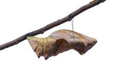 Birdwing motyl wśrodku pupa Zdjęcie Stock