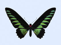Birdwing Rajah Brooke - Trogonoptera Brookiana Стоковые Фото