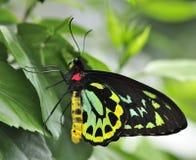 birdwing richmond Стоковые Фото