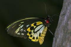 birdwing rösen Royaltyfria Bilder