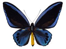 birdwing的swallowtail 免版税库存图片