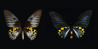 Birdwing swallowtail Stock Photos
