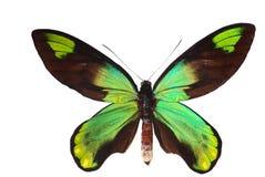 birdwing swallowtail Стоковая Фотография RF