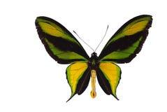 birdwing swallowtail Стоковые Изображения
