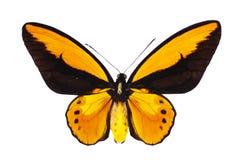 birdwing swallowtail Стоковое фото RF