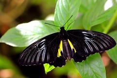 Birdwing (Troides helena) butterfly, Florida Stock Photos