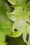 Birdwoodiana Mucuna Стоковые Изображения RF