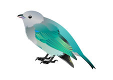 Birdy. Photo realistic illustration of a greybird with blue wings and back Stock Image