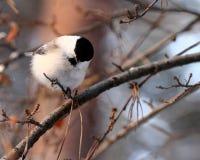 Birdy Foto de archivo