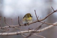 Birdy en una rama en invierno Fotografía de archivo libre de regalías