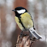 Birdy. Great tit sitting on a branch Stock Image