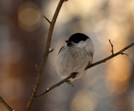 Birdy Royalty Free Stock Image