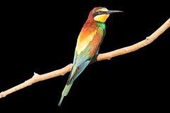 Birdy - Regenbogen lokalisiert auf Schwarzem Lizenzfreie Stockfotos